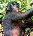 110px-Bonobo.jpg